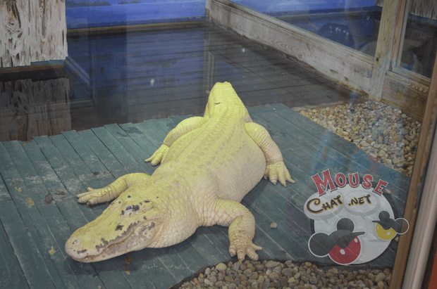 white-gator-gatorland